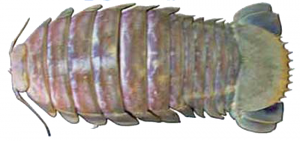 Bathynomus gigantus