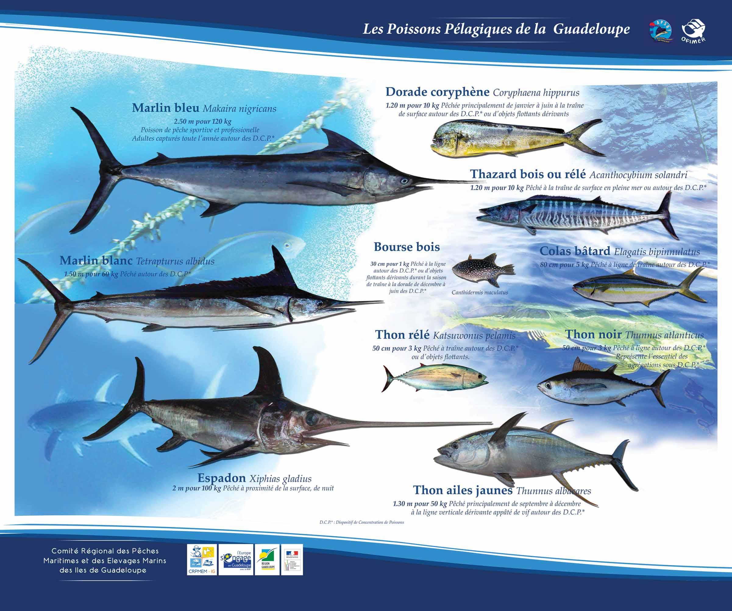 Télécharger le poster des poissons pélagiques principaux consommés en Guadeloupe