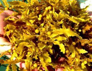 Sargassum fluitans (crédit photo: GCRL).